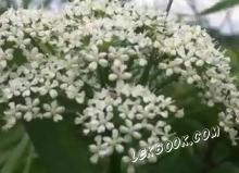 Седмолист