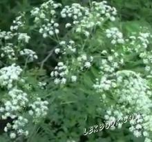 Бучиниш - Conium maculatum - L.
