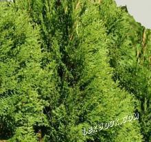 Западна туя - Thuja occidentalis L.