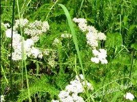 Бял равнец - Achillea millefolium - L.