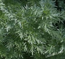 Бял пелин Artemisia absinthium L.