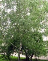Бреза — Betula pendula - Roth