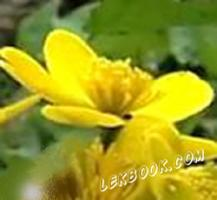 Блатняк - Caltha palustris - L.