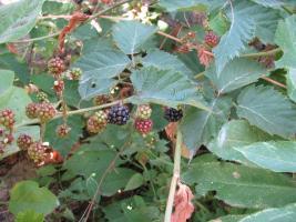Къпина - (Rubus caesius l.)