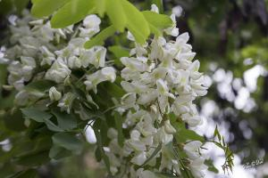 Акация бяла - Robinia pseudoacacia L.